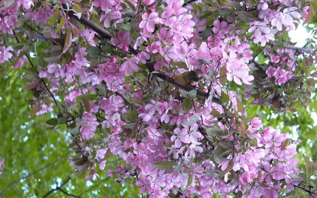 Flowering Crabapple in Bloom…