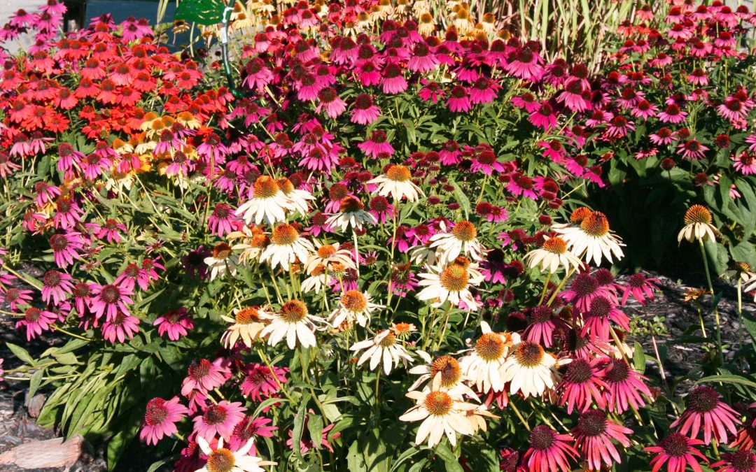 Echinacea or Just Cone Flowers…